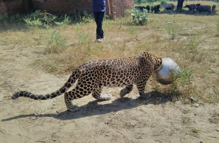 Как в Индии спасали застрявшего головой в бидоне леопарда