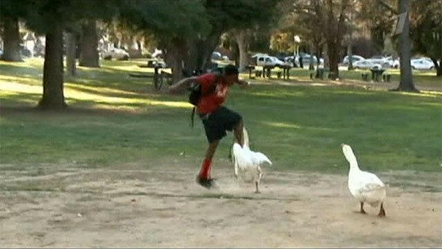 Как в парке Сакраменто поселились боевые гуси
