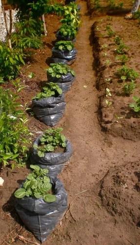 Способ посадки картофеля - в мешки