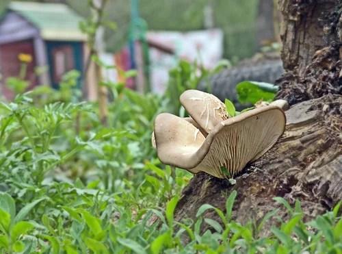Разведение гриба вешенка