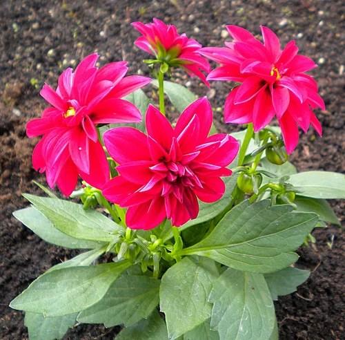 Георгины - высадка в грунт и уход за цветами