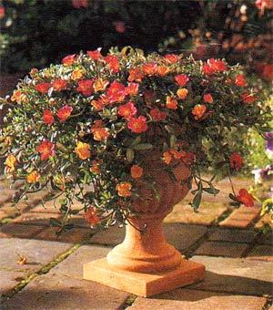 портулак в вазоне на даче цветущие растения