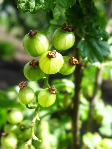 Иммунные сорта смородины