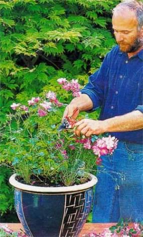 обрезка горшечных роз