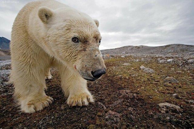 Как белый медведь напал на туриста во время солнечного затмения