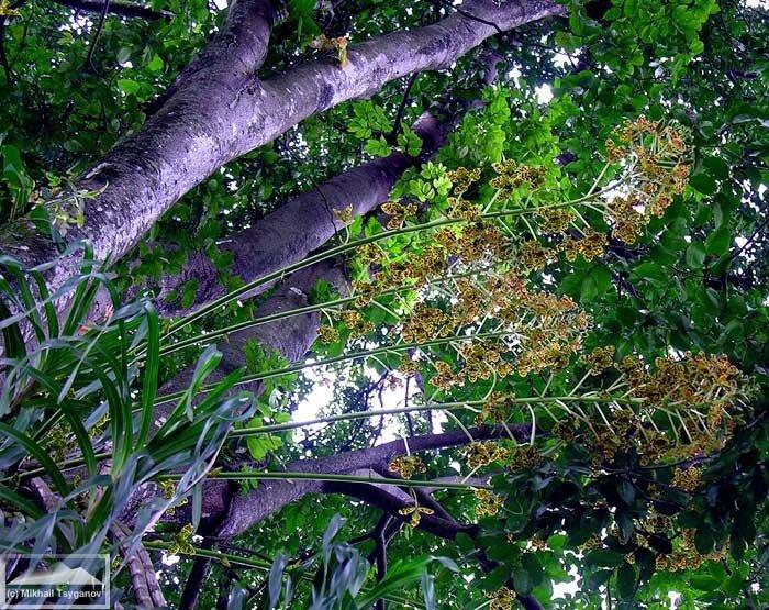 Тигровая орхидея