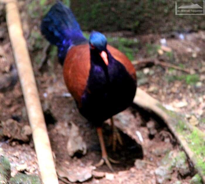 Голубефазан