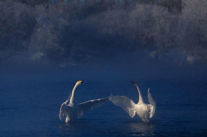 Дмитрий Купрацевич: Лебединые истории