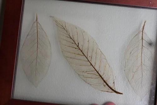 скелетизация или оскелечивание листьев