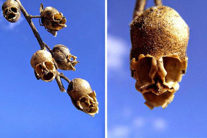 Если вам нужен череп для украшения, взгляните на красивый цветок под названием львиный зёв (Antirrhinum, или Snapdragon Seed Pod). Когда он усыхает, его соцветия превращаются в жуткие подобия человеческих черепов.