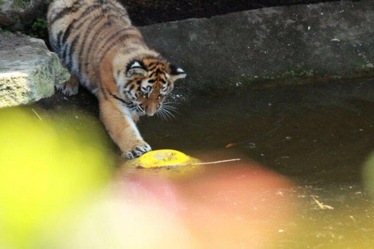Как в зоопарке Лондона утонул маленький тигренок