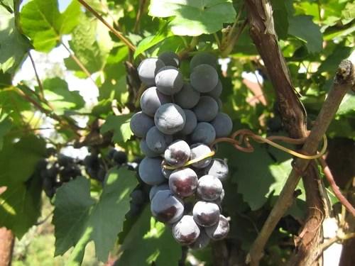 Как хранить черенки винограда