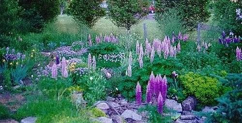 люпины в саду