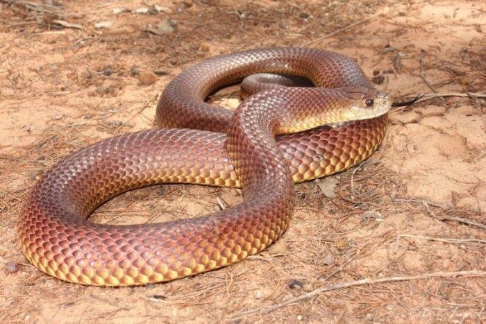 Как австралийка обнаружила смертоносную змею в своих уггах