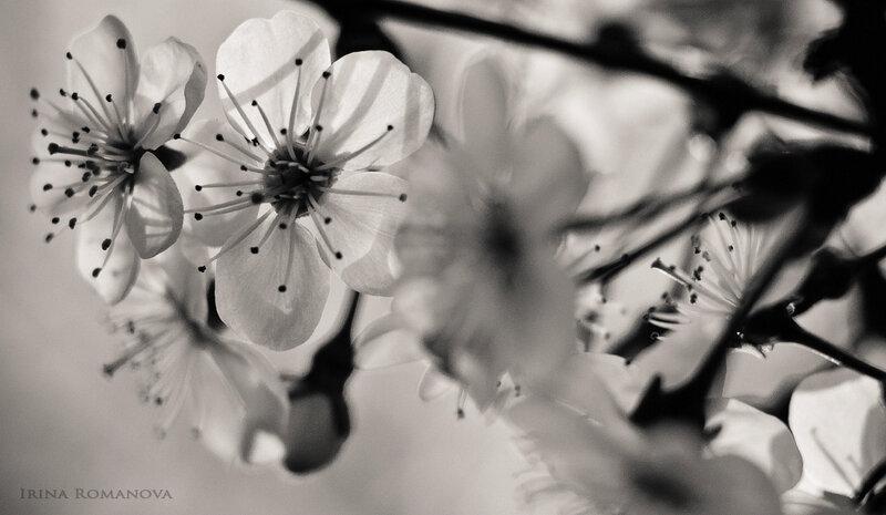 цветение 8 л.jpg