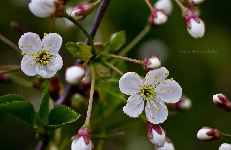 цветение 9 л.jpg