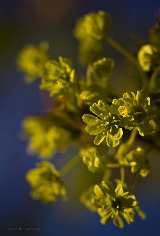 цветение 6 л.jpg