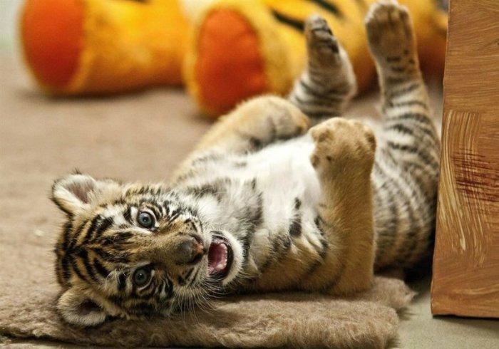 Тигренок в зоопарке Дьера, Венгрия