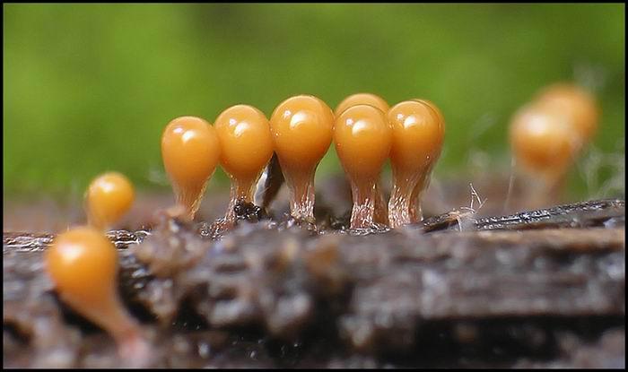 Myxomycetes / Миксомицеты - скорее животные, а может, грибы, или водоросли
