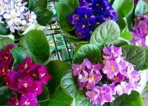 Фиалка не цветет - как заставить фиалку цвести
