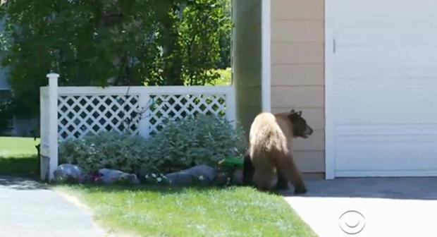Фотографии нашествия медведей на городок в штате Невада