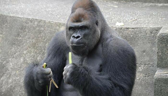 Секс сомца горилы с женщиной видео