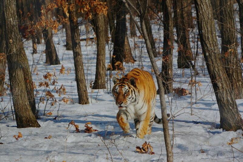 Страховка от нападения тигров и леопардов в России