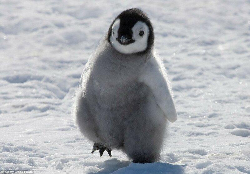 Маленький императорский пингвин