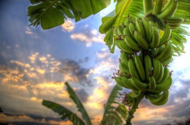 Банан  недерево! Гигантская трава с плодами