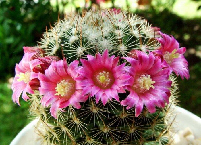 Маммиллярия - кактус из Мексики на наших окнах