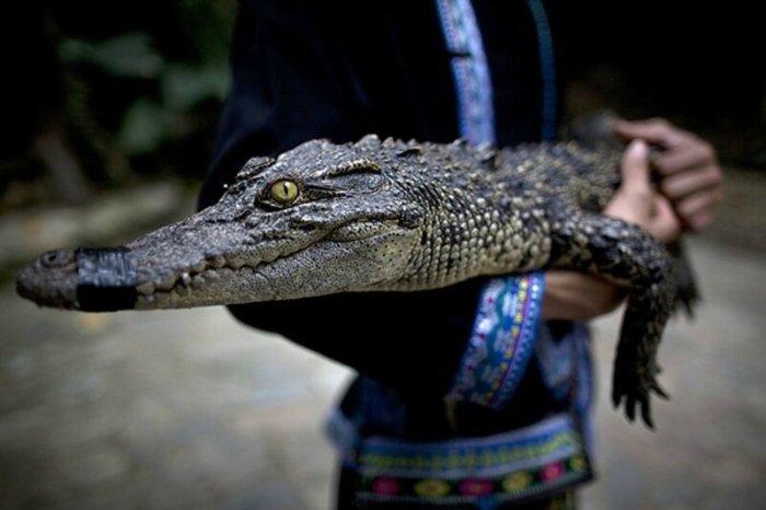 Очаровательные и опасные крокодильчики: фотографии будущих монстров