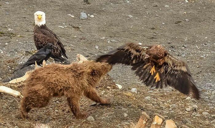 Орлан сделал большую ошибку, подлетев в медвежонку слишком близко
