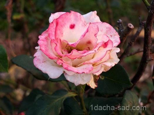 сорта роз с приятным сильным ароматом