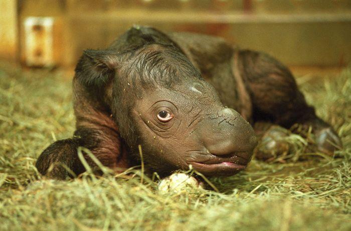 Суматранский носорог. Самый мелкий из семейства: длина тела взрослой особи достигает 200–280 см, а высота в холке — 100–150 см