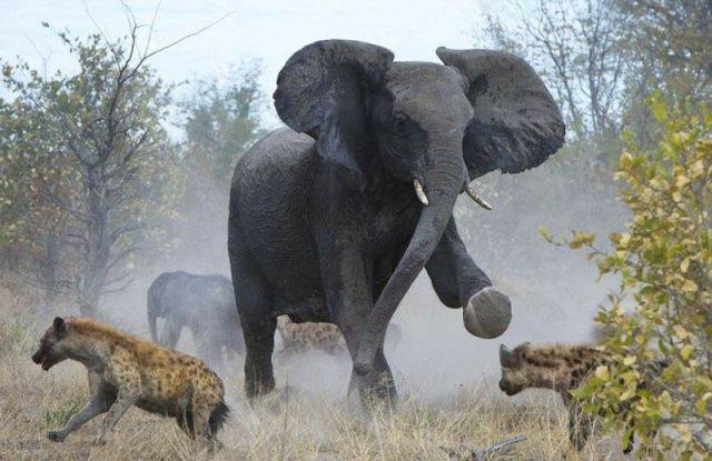 Слониха защищает слоненка от гиен, фото смешных и испуганных слонят и другие снимки из жизни хоботных