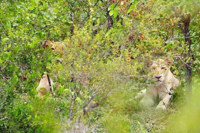 Львицы на водопое. Фото дня