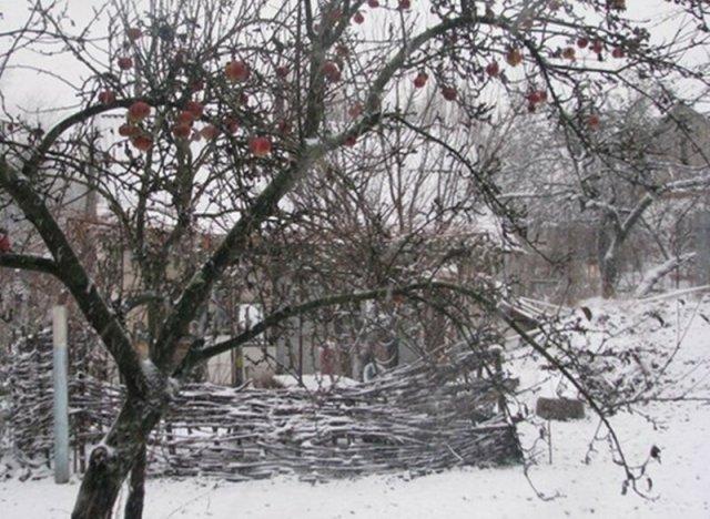 Яблука на снігу