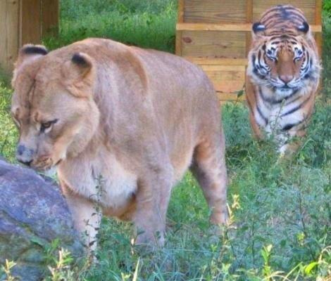 Уникальная дружба человека с хищниками