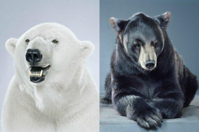 Медвежьи портреты   серия фотографий Ursine