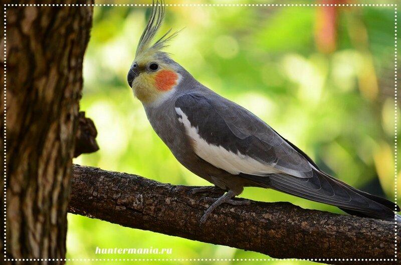 Попугайчик корелла. Красивый и неприхотливый домашний любимец