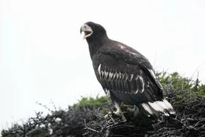 Тихоокеанский орлан