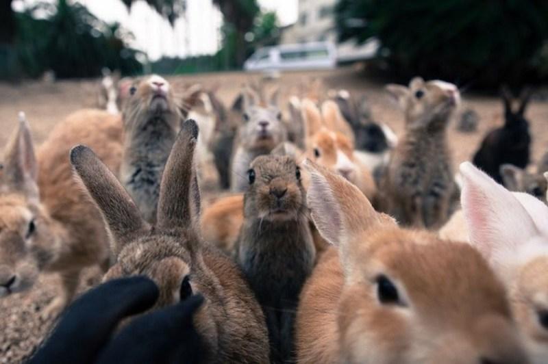Кроличий остров Окуносима в Японии