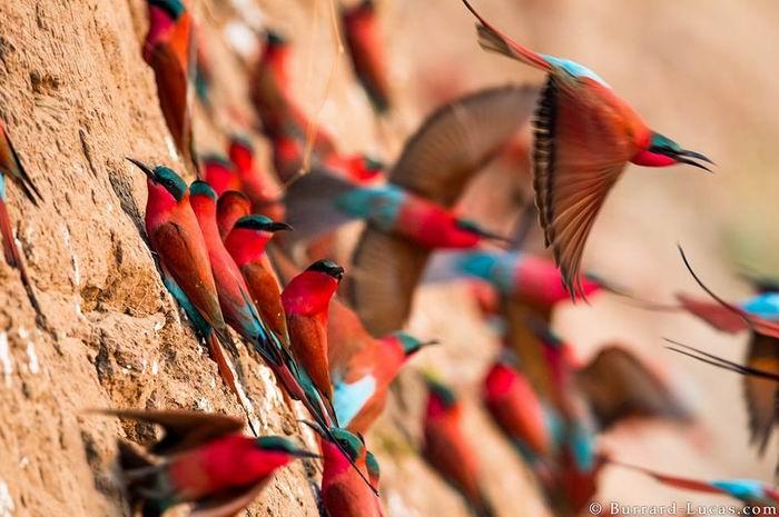 Wild-life фотограф Will Burrard-Lucas. Сурикаты и компания. 45 фото