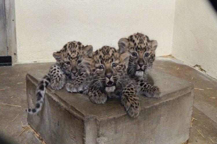 В США застрелили леопарда во дворе дома