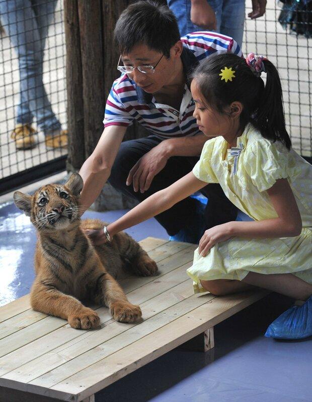 Туристы с тигрятами в китайском зоопарке