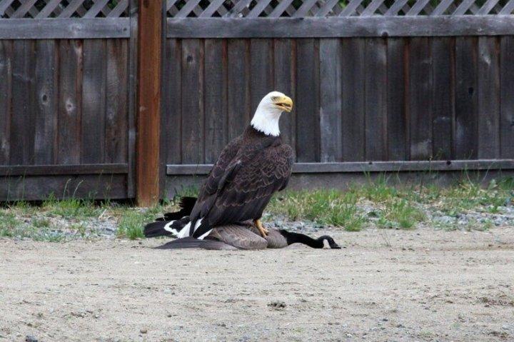Как канадский гусь вырвался из когтей орлана