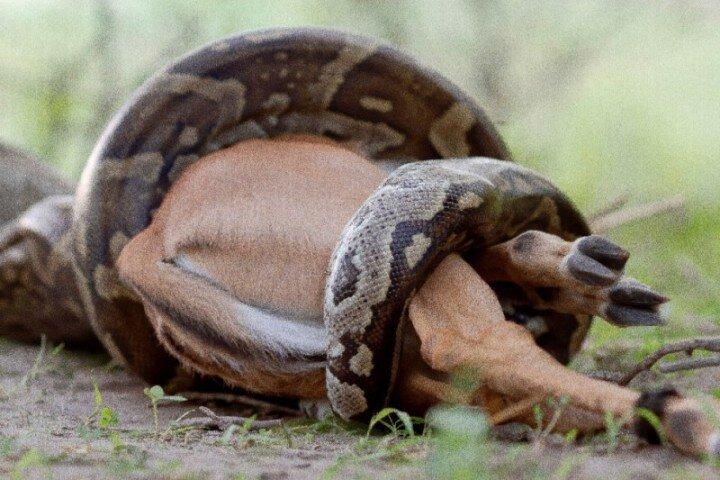 Питон проглотил пьяного мужчину и антилопу импала