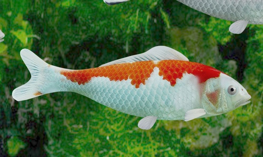 medium resolution of  koi fish 3d model low poly rigged animated max obj mtl 3ds fbx c4d blend