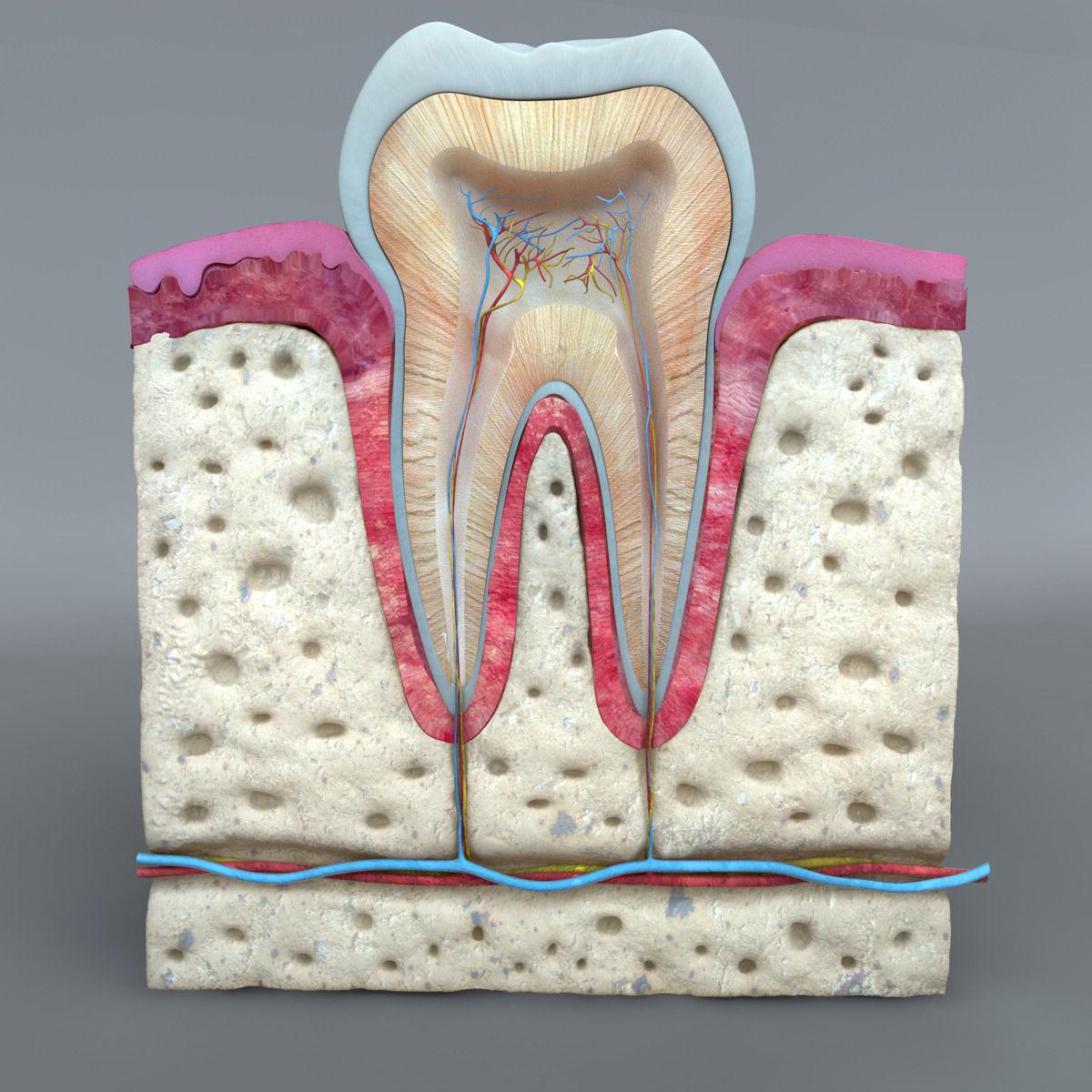 Teeth Diagram 3d Model Obj 3ds Fbx C4d