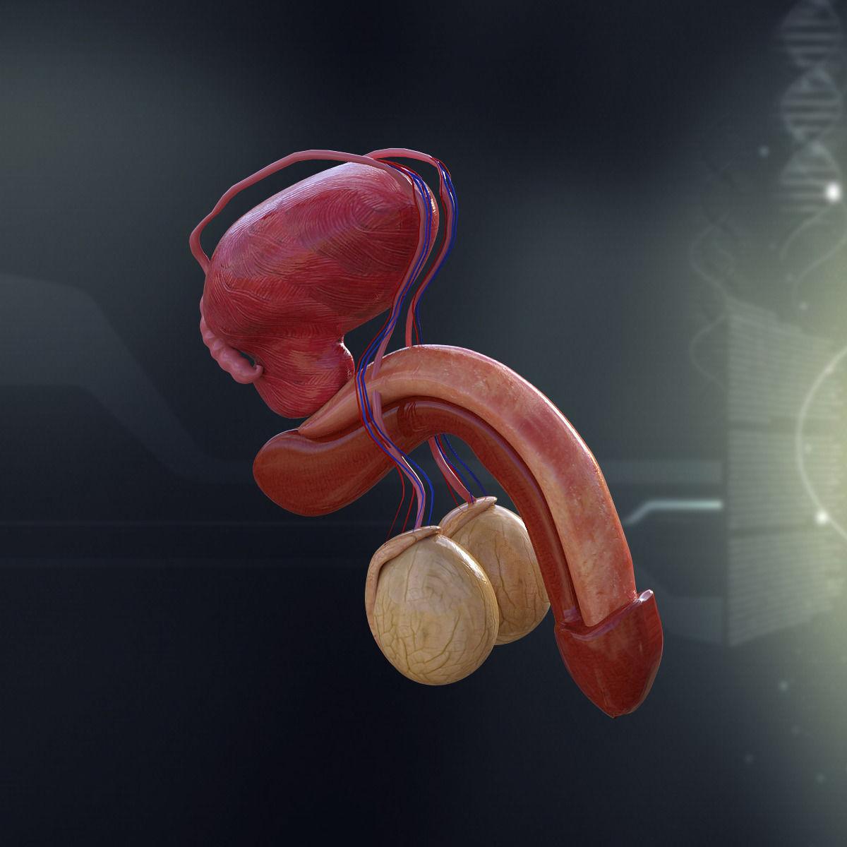 Human Male Organ Anatomy 3d Model X Obj 3ds Fbx C4d Lwo Lw Lws